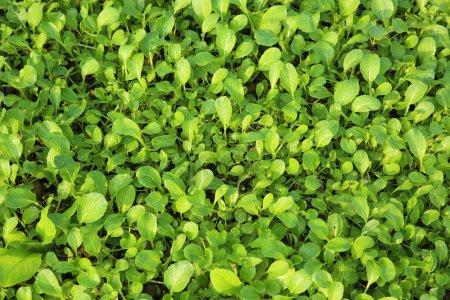green choysum plants