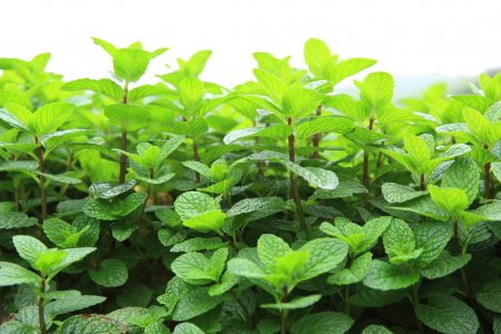 Photo for Mint plants grown in garden bed isolated on white background - Royalty Free Image