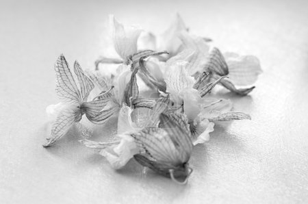 Dead orchid. dried flowers. Black and white photo...