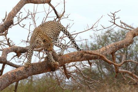 Photo pour Animal doté d'un grand sens de l'équilibre, le léopard peut se déplacer confortablement sur un arbre. Cet animal insaisissable fait partie du fameux Big 5, classé par les chasseurs parmi les 5 premiers, le plus difficile à tuer . - image libre de droit
