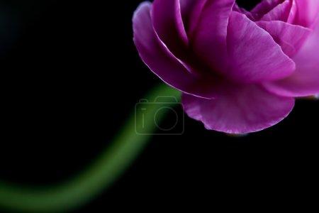 Pink ranunculus close up