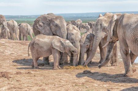 Elephants eating fresh dung