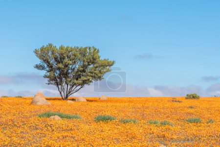 Lonely tree in a sea of orange daisies