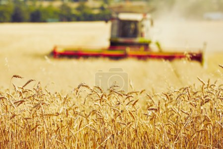 Photo for Combine harvester on the wheat field during harvest - Royalty Free Image