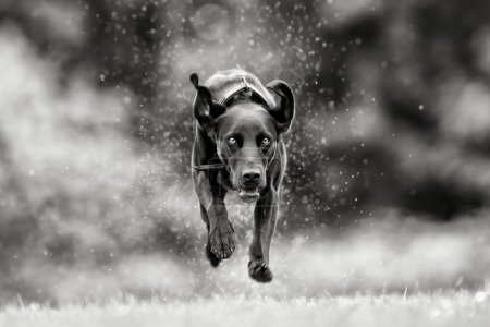 Black and white picture of mixed breed dog