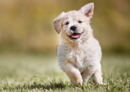 Playful golden retriever puppy