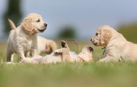 Golden retriever puppies having fun