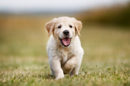 Seven week old golden retriever puppy outdoors on ...