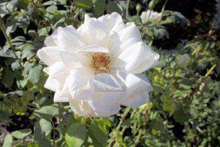 Bardovaya, Grew, Red, Buds, Rosa,  Red roses, Buke...