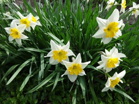 Flowers daffodils in the garden