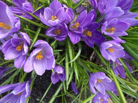 Spring flowers purple crocuses