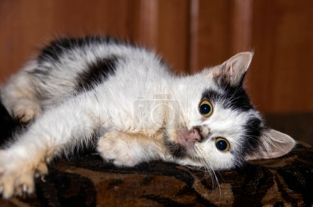 Photo for White kitten with black spots is resting on the couch. close-up. - Royalty Free Image