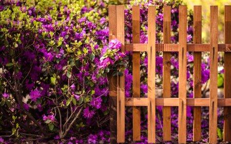 Blossom bush near wooden fence. Spring flowers