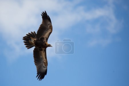 A native wedge tailed eagle in flight near Alice S...