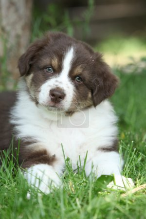 Gorgeous puppy of australian shepherd