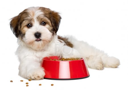 Happy Havanese puppy dog is lying beside a red bowl of dog food