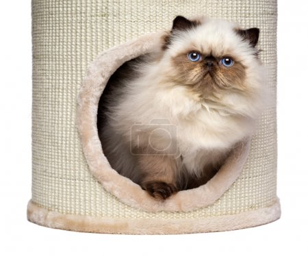 Cute persian colourpoint kitten is looking out from a cat tower