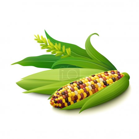 Cobs of colorful Indian corn on white background