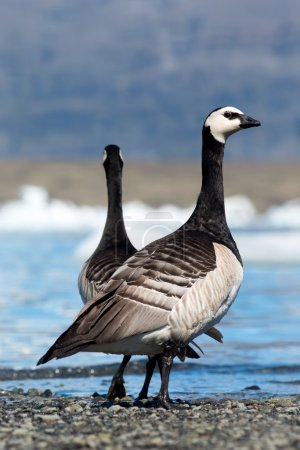 Barnacle Geese couple on sea shore, Branta leucops...