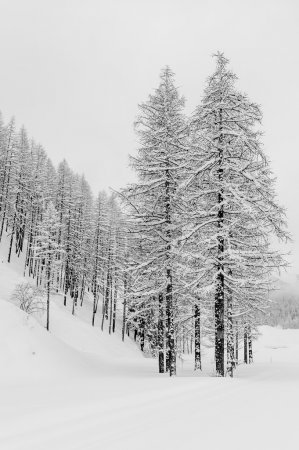 Photo pour Trees covered by snow in a forest during a cloudy day, relaxing and lonely atmosphere due to black and white conversion - image libre de droit