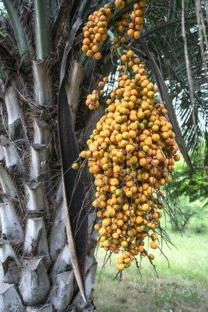 Photo pour Palmier Butia de la famille des Arecaceae, originaire d'Amérique du Sud au Brésil, au Paraguay, en Uruguay et en Argentine - image libre de droit