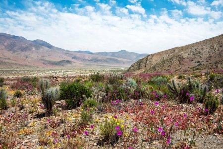 Photo pour Désert fleuri (espagnol : desierto florido) dans l'Atacama chilien. L'événement est lié au phénomène El Nino - image libre de droit