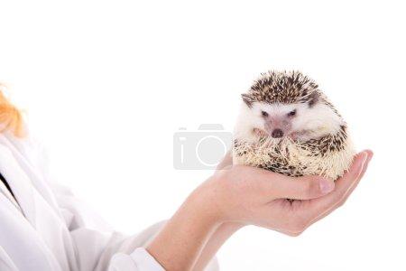 Veterinarian with cute hedgehog