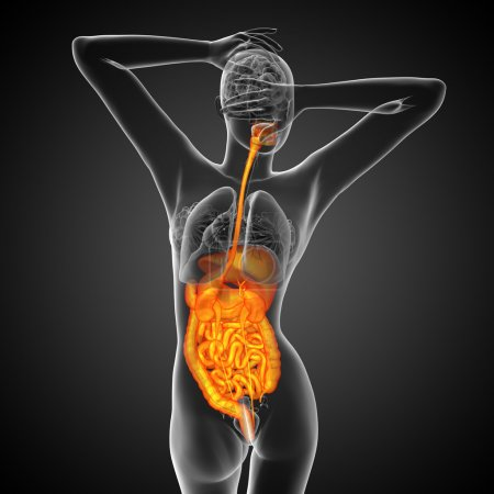 3d render medical illustration of the human digestive system