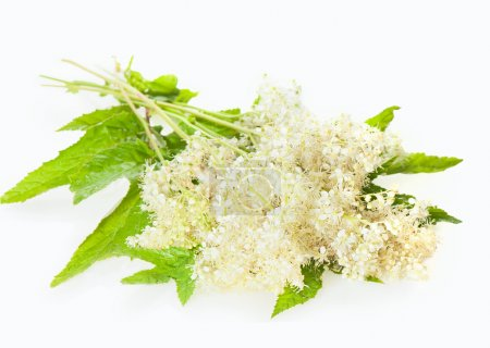 Meadowsweet flowers and leaves isolated on white.