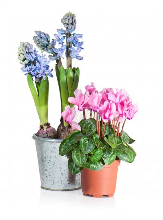 Cyclamen and Hyacinth in flower pots on white background.