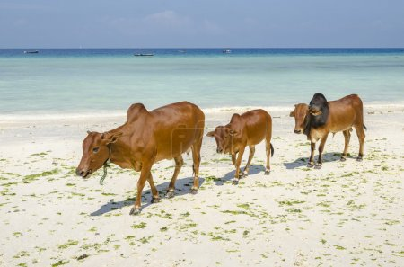 Family of Zebu cattle