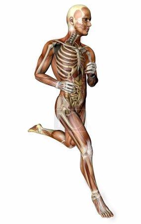 Running man, muscular system
