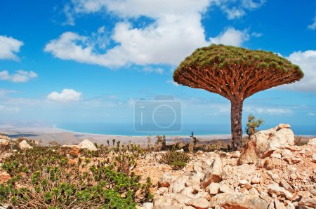A Dragon Blood trees, overview of Arabian Sea and of the island, Socotra, Yemen