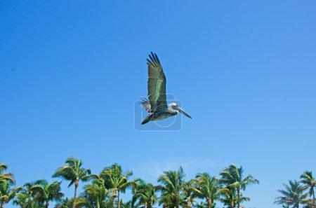 Flying cormorant, palms, blue sky, freedom, Key West, Keys, Cayo Hueso, Monroe County, island, Florida