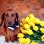 Beautiful Dachshund with tulips. International Wom...