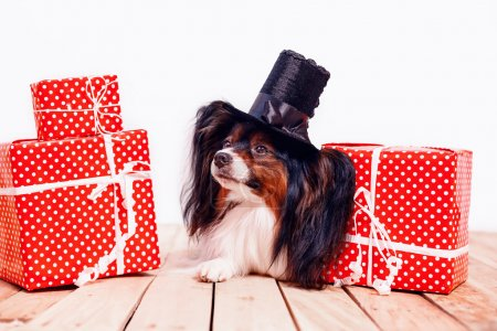 Papillon in  hat with gifts