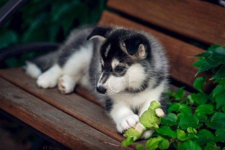 Siberian Husky on the bench