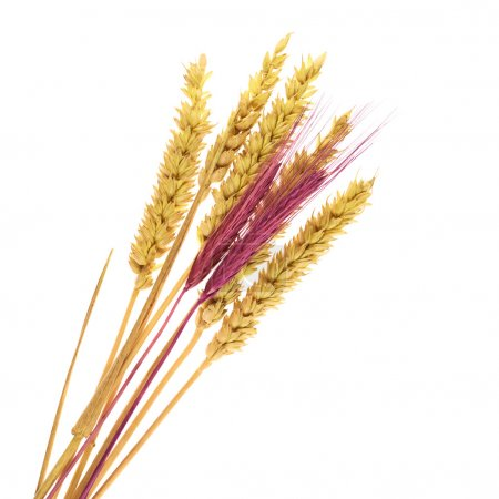 Ear of wheat bunch isolated
