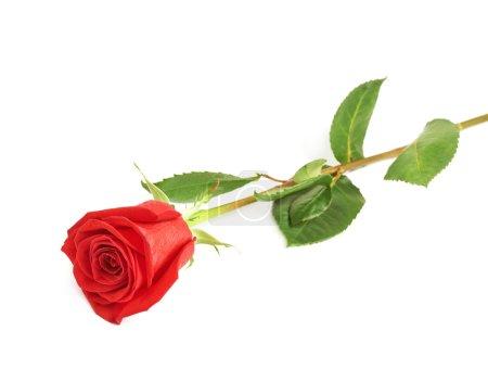 Photo pour Rose rouge isolée couchée sur la surface blanche - image libre de droit