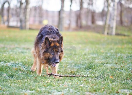 German shepherd dog with the stick
