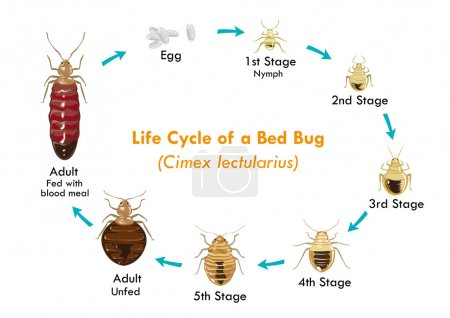 Life Cycle of the Bed Bug vector eps10. Editable Clip Art.
