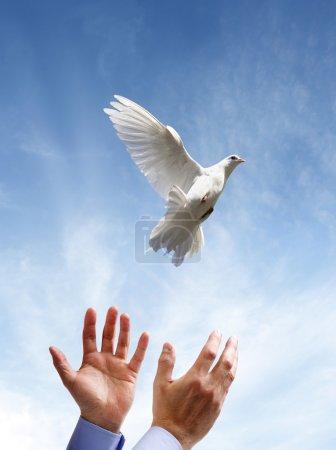 Photo pour Libérer une colombe blanche dans l'air concept de liberté, de paix et de spiritualité - image libre de droit