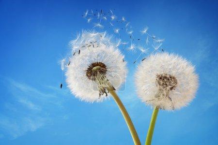 Photo pour Pissenlit avec graines soufflant dans le vent sur un ciel bleu avec espace copie - image libre de droit