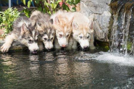 siberian husky puppies drinking water