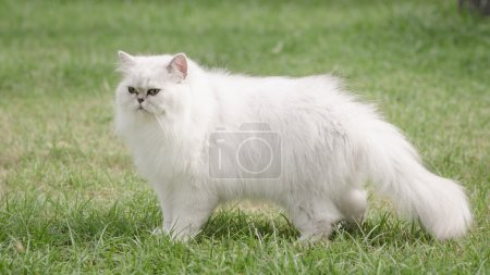 White persian cat walking