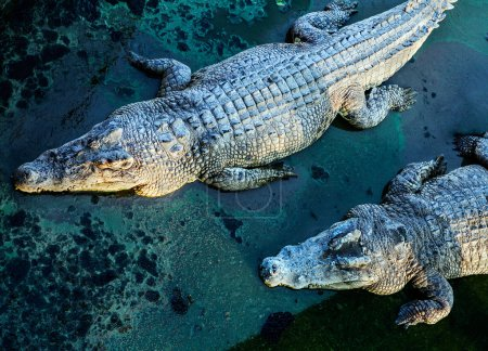 crocodiles, view from above