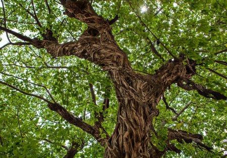 Photo pour Arbres de la grande forêt. horizons de lumière du soleil bois vert nature. - image libre de droit