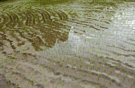Foto de Terrazas de arroz en Bali, fondo de hilera natural - Imagen libre de derechos