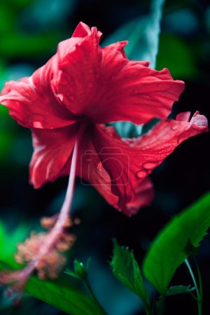 Bush green hedge with red hibiscus flowers.