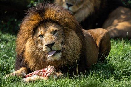 Photo pour Le lion Panthera leo est un des quatre grands félins du genre Panthera et un membre de la famille des Felidae.. - image libre de droit